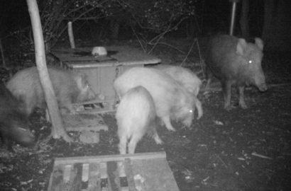 2015_02160104-wildschweinpapa